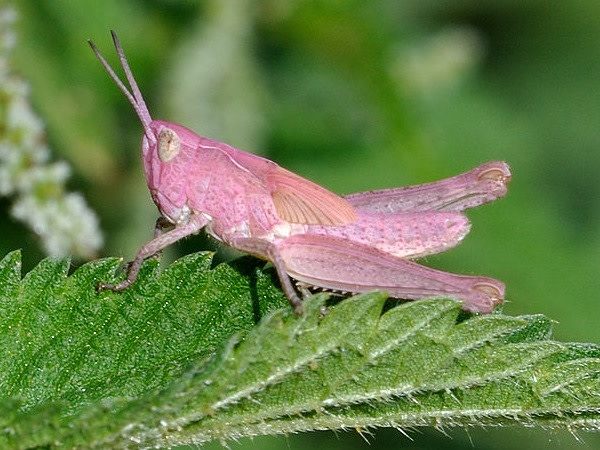 bow-winged-grasshopper.jpg