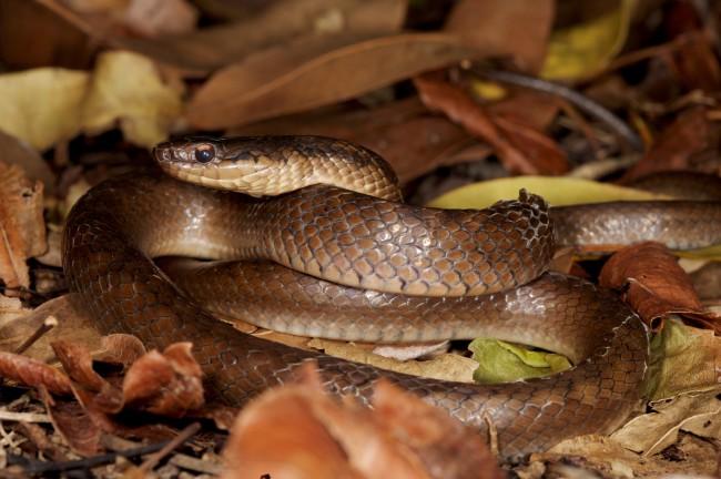 Ornate Ground Snake - Gregory Guida