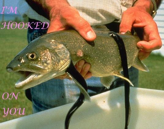hooked-on-lampreys.jpg