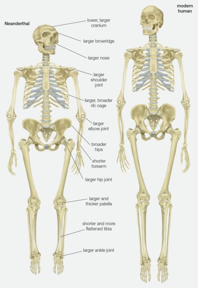 Neanderthal vs. Human Skeletons - Getty