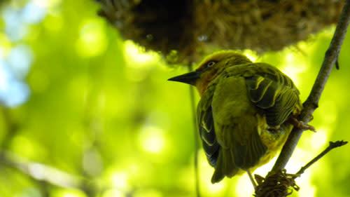 Weaverbird2.jpg