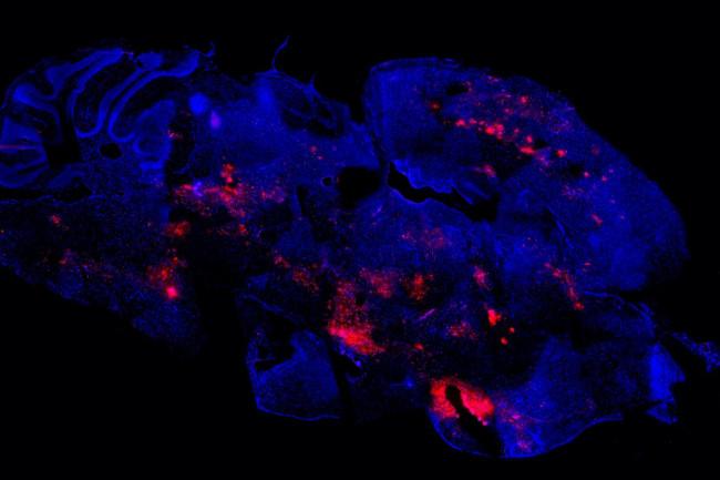 Semliki Forest virus mice