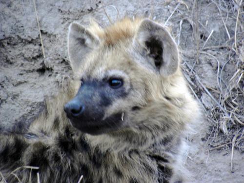 Hyena_portrait.jpg
