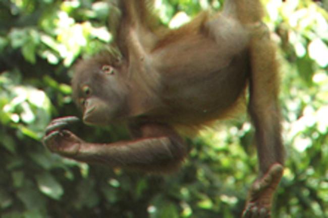 orangutan-boreo-2.jpg
