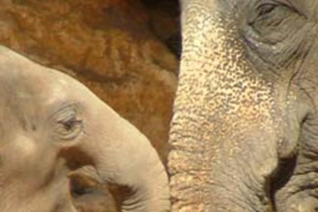 Asianelephant.jpg