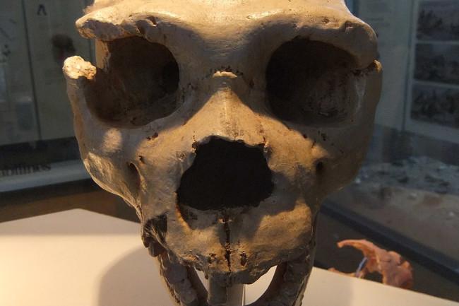 Cranium-5-Homo-heidelbergensis