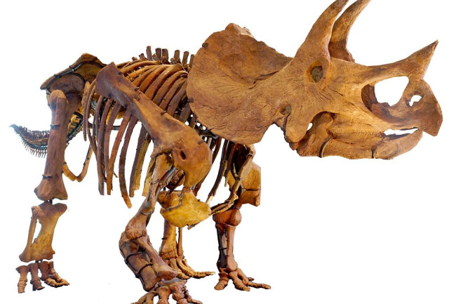 Triceratops - Commons