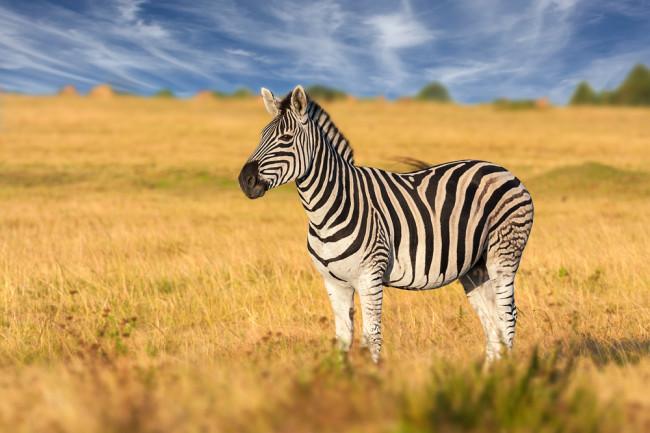Zebra - Shutterstock