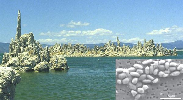 Mono_lake_arsenic_bacteria.jpg