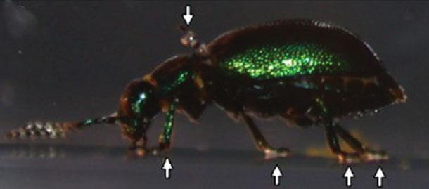 Green_dock_beetle1.jpg