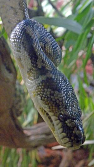 Carpet_python.jpg