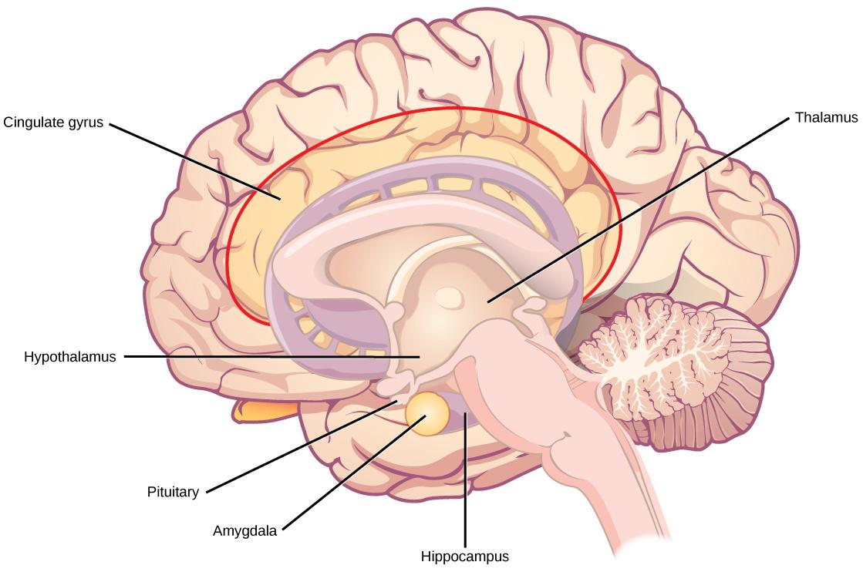 Esquema del sistema límbico del cerebro. Ver lo que hay allí no te dice casi nada sobre las locuras que puede hacer. (Crédito: Rice University / OpenStax)