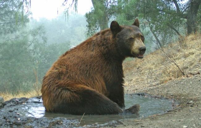 Black Bear - Sedgwick Reserve