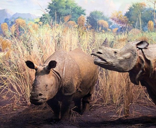 Javan Rhino - Wikimedia