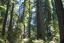 redwood-forest.jpg
