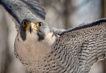 Falcons, the 'Top Gun' of the Skies, Are Helping Farmers Scare Away Pests
