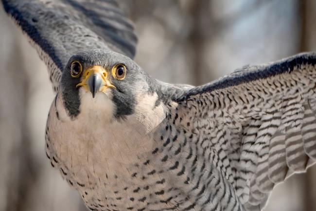 falcon - shutterstock