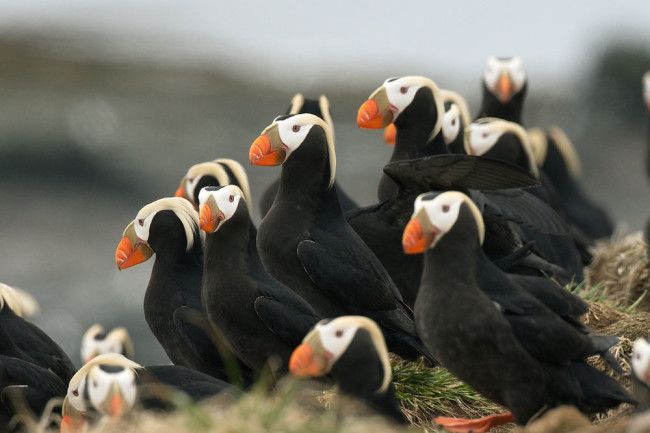 Tufted Puffins - Shutterstock