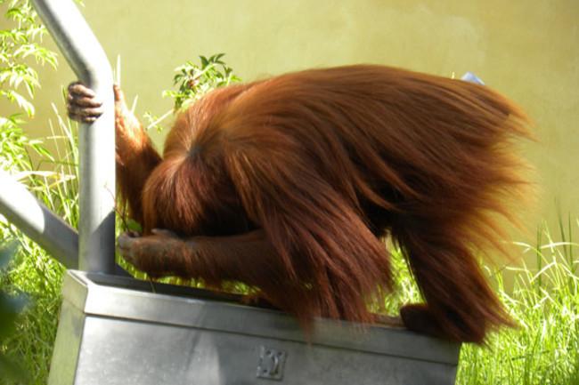 Orangutan_tool_stickprobing.jpg