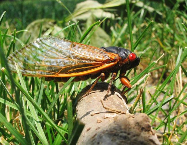 770px-17 Year Cicada - Brood X