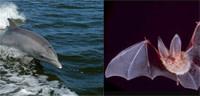Dolphin_bat.jpg