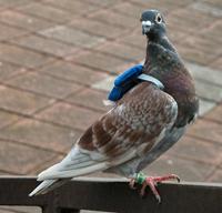 Pigeon_backpack.jpg