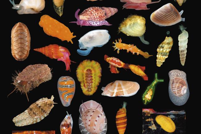 Mollusk Diversity - Abela, Charles, Maestrati