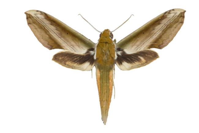 Hawk-moth.jpg
