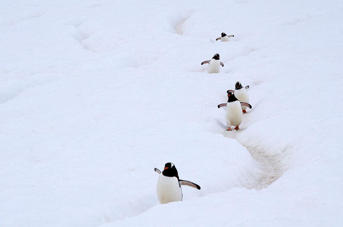 1200px-Gentoo_Penguin_AdF.jpg
