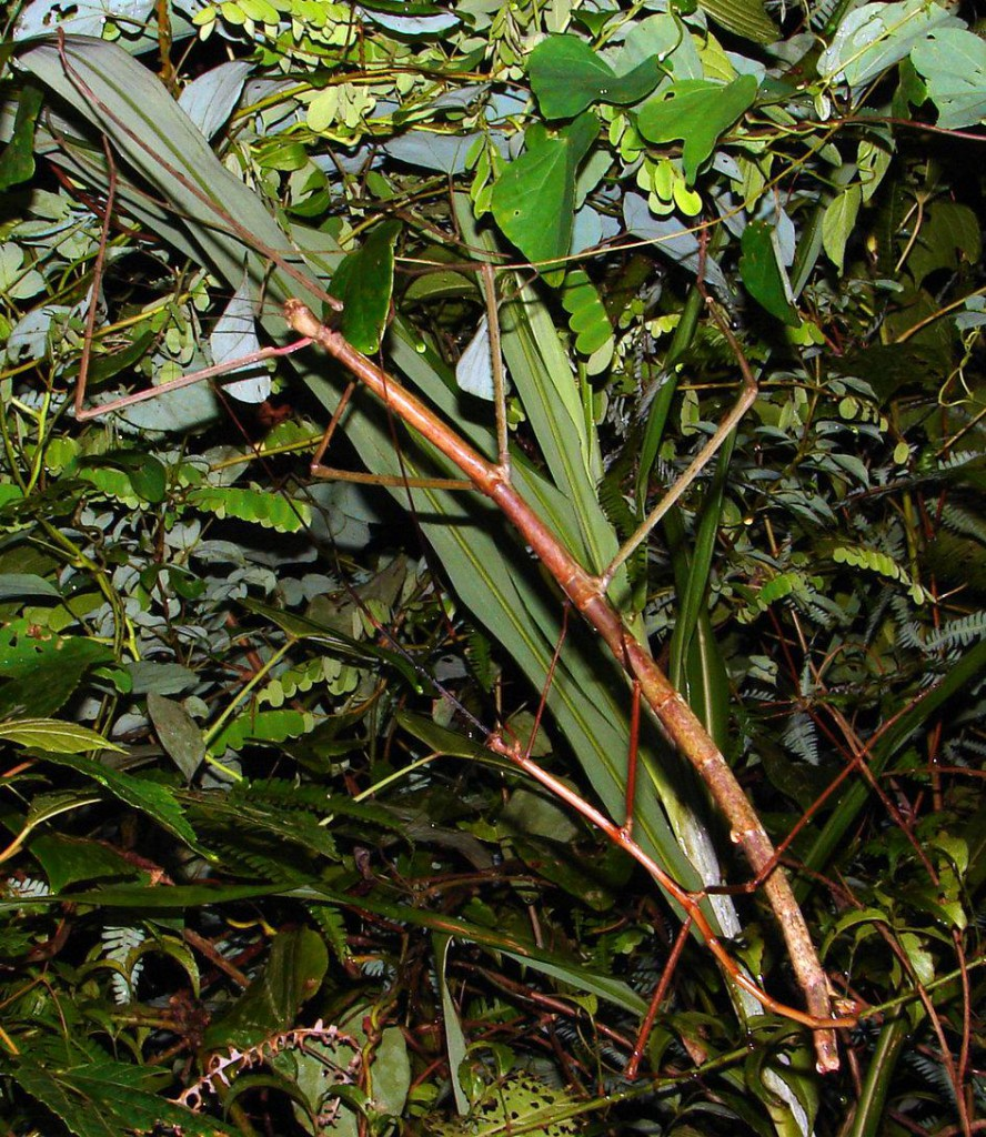 stick-insect2-888x1024.jpg