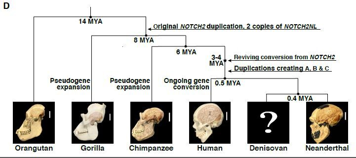 This-figure-illustrates-the-evolutionary-history-of-the-NOTCH2NL-genes-in-the-great-ape-lineage-CREDIT-Fiddes-et-al_preview.jpg