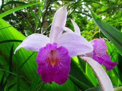 2-arundina-flower.jpg