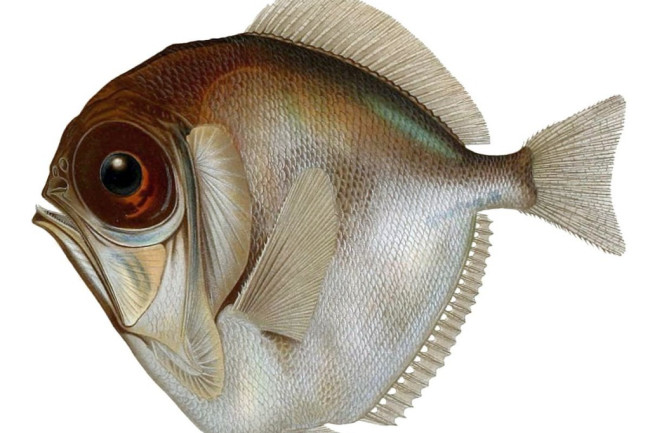 Silver Spinyfin Fish - Wikimedia Commons