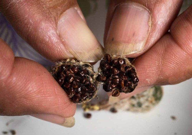 The star cactus seed pods are packed with seeds, which Benito Treviño collects, counts, and germinates to produce seedlings that he will tend inhis nursery until they are large enough to transplant in an appropriate spot at Rancho Lomitas. (Credit: James Roper)