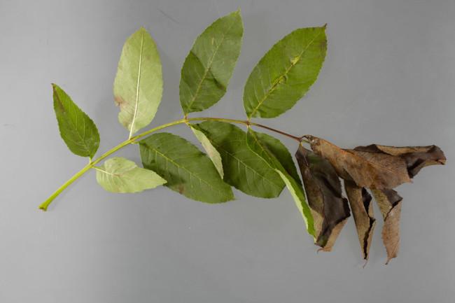 fraxinus_leaves.jpeg