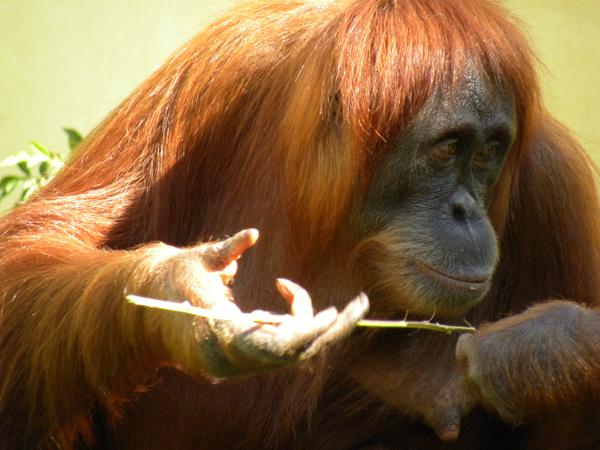 Orangutan_twig.jpg