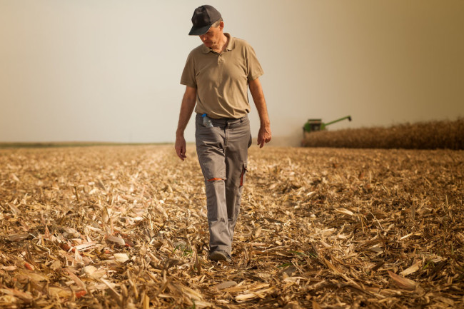 farmer grows food harvests corn - Shutterstock