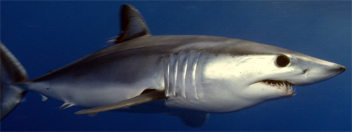 Shortfin_mako_shark.jpg