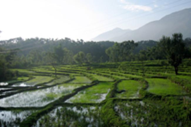 rice-paddies-india.jpg