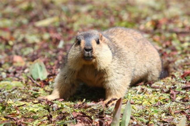 Himalayan-Marmot.jpg