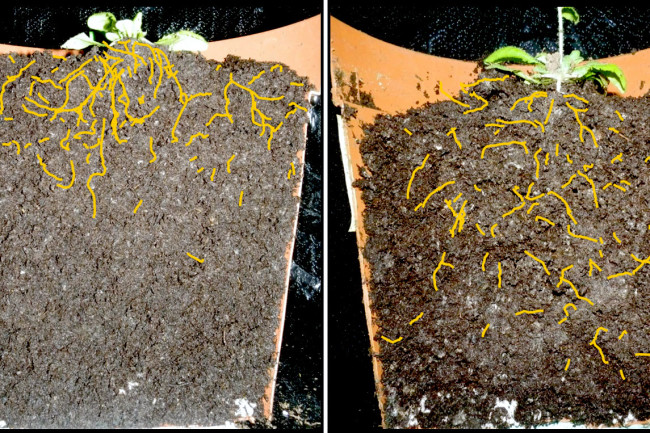 A regular thale cress plant (Arabidopsis) on the left, altered version on the right. Engineered crops with deep root systems could bury vast amounts of CO2 on farmland. (Credit: Salk Institute)
