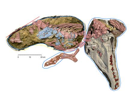 fetal-skeleton.jpg