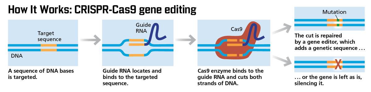 How CRISPR works infographic