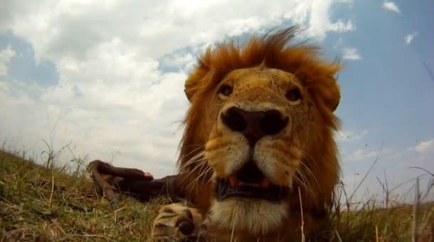 beetlecam4-lion-610x340.jpg