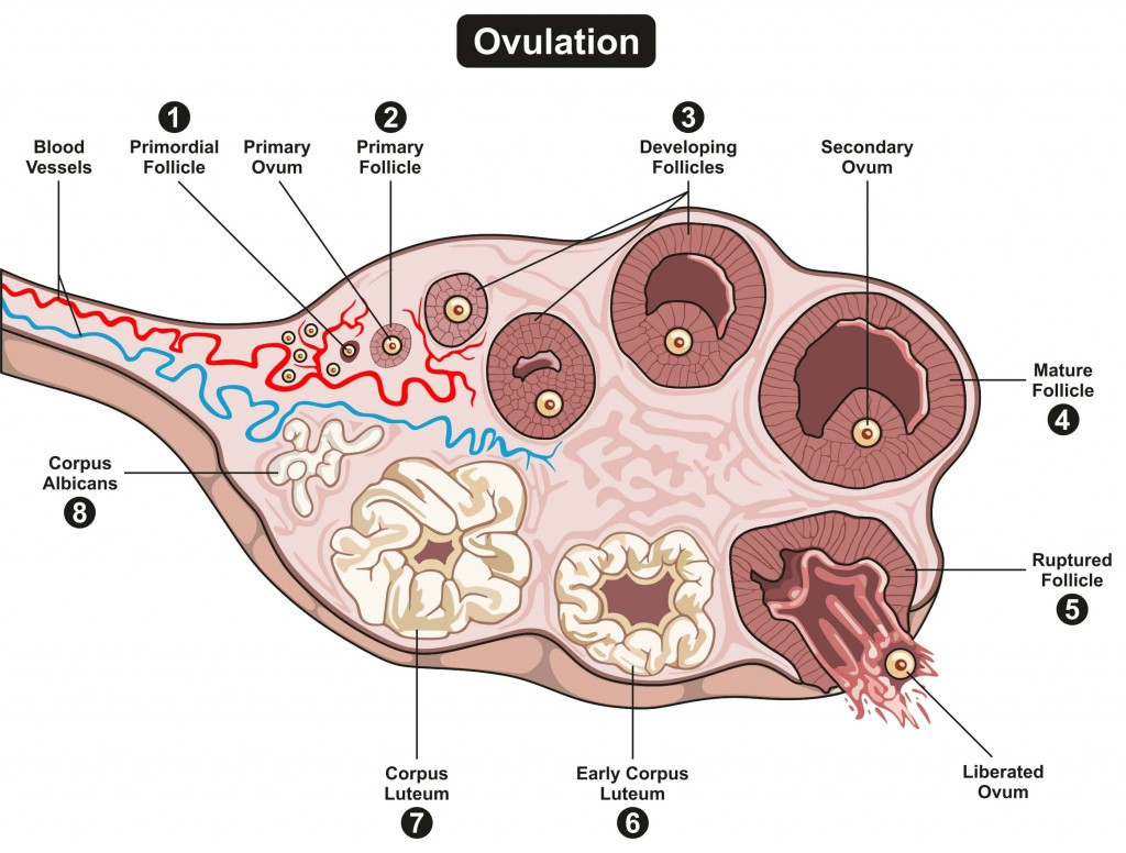 Variant Bravo, ovulation i pregnant 3 had days before can sex be regret, but