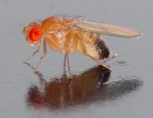 Drosophila_melanogaster_-_side_aka-300x232.jpg