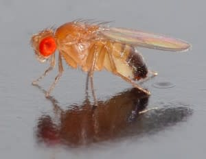 Drosophila_melanogaster_-_side_aka-300x232.jpg