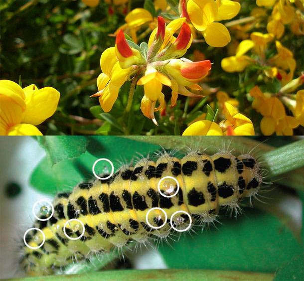 Trefoil_caterpillar.jpg