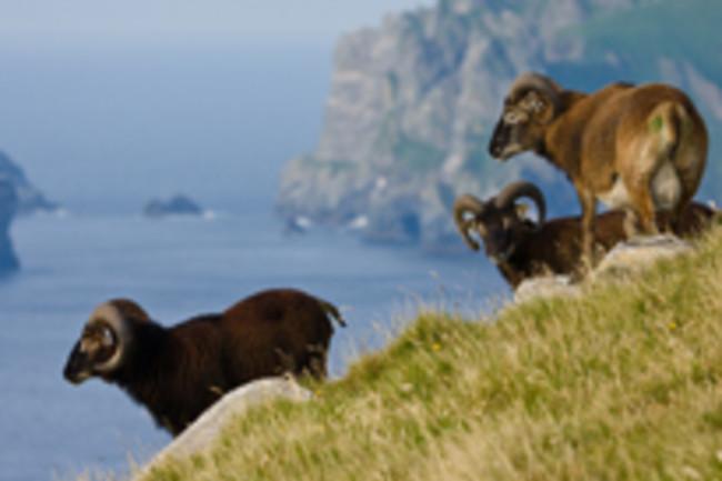 scottish-sheep.jpg