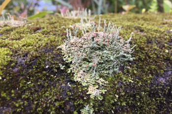 Lichens Survived A Mass Extinction, Scientists Find. But How Are They Doing Now?